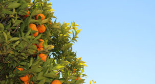How To Grow Citrus Trees at Home in Arizona