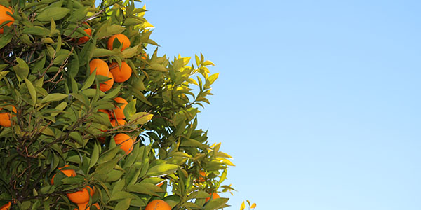 How To Grow Citrus Trees at Home in Arizona Featured Image