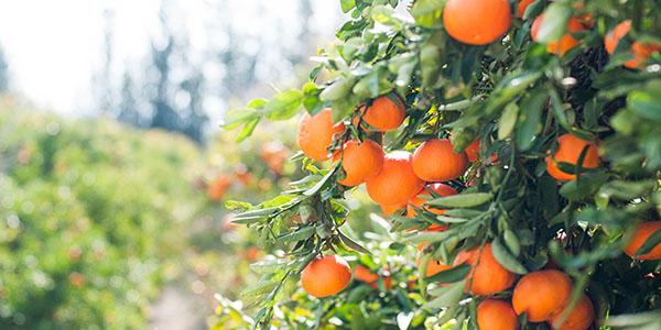 Types of Oranges Featured Image